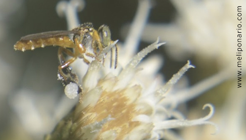 abelhas desaparecendo